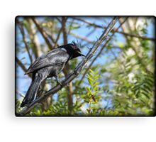 Phainopepla ~ Male Canvas Print
