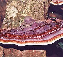 Fungi , Dorrigo National Park, NSW, Australia by Adrian Paul
