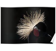 Grey Crowned Crane Poster