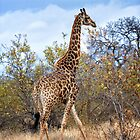 Giraffe by Jan Fijolek