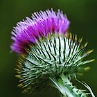 Scotch Thistle by Debbie Oppermann
