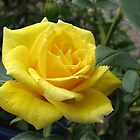Tickle me yellow - not pink! Captivating Golden Rose by BlueMoonRose