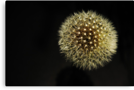 Dandelion Seedhead by Alan Harman