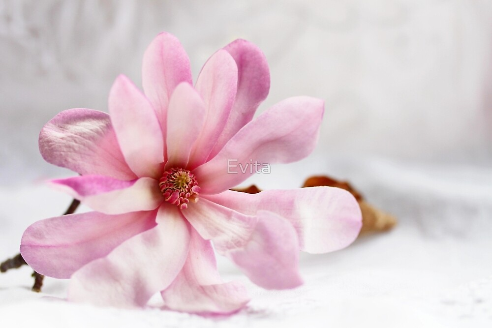 Still Magnolia by Evita