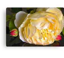 Yellow with pink edged petals Rose Canvas Print