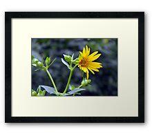 Beautiful sunny yellow flower macro. Framed Print