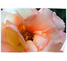 Macro on delicate pink rose. Poster