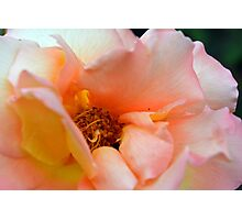 Macro on delicate pink rose. Photographic Print