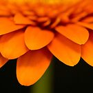 Orange Gerbera Macro by Martie Venter