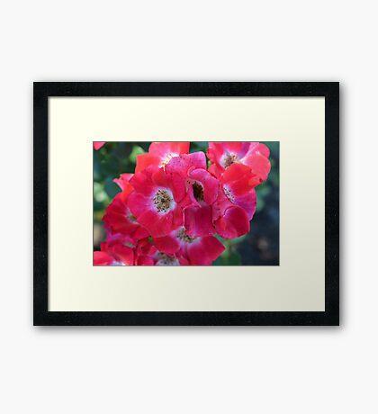 knockout roses Framed Print