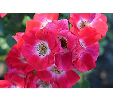 knockout roses Photographic Print