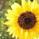 The Full Sun Sunflower by IreKire