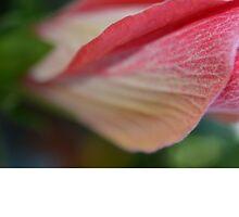 hibiscus opening by paul gavin