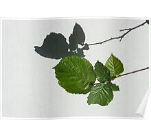 Sophisticated Shadows - Glossy Hazelnut Leaves on White Stucco - Horizontal View Right Down Poster