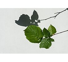Sophisticated Shadows - Glossy Hazelnut Leaves on White Stucco - Horizontal View Right Down Photographic Print
