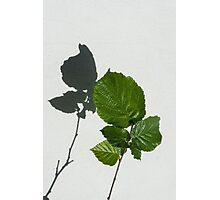 Sophisticated Shadows - Glossy Hazelnut Leaves on White Stucco - Vertical View Upwards Left  Photographic Print