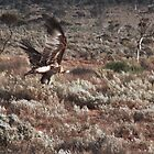 Wedgetail Eagle taking off by BigAndRed
