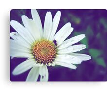 Waterdrops on daisy Canvas Print
