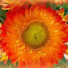 Strawflower by ©The Creative  Minds