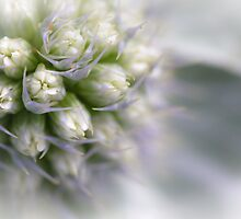 Sea Holly Close Up by Heidi Stewart