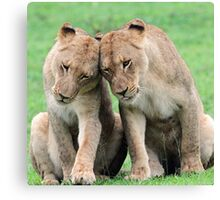 Don`t worry sis the big lions won`t hurt us!! Canvas Print