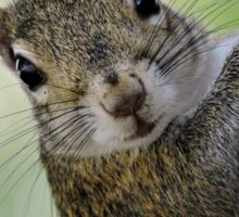 Staring Contest with a Squirrel Sticker