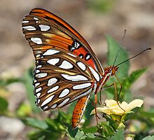 Gulf fritillary butterfly sideview by jozi1