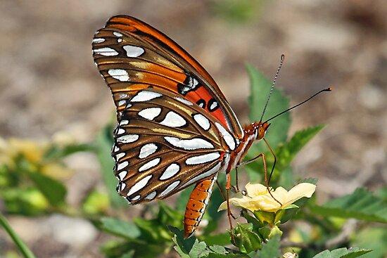 Gulf fritillary butterfly sideview by jozi1