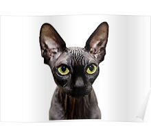 Beautiful sphynx cat with yellow eyes portrait on white background Poster