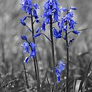 Bluebells SC by Anthony Hedger Photography