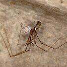 Female daddy long legs spider with eggs  by Kawka