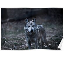 Stare Down With a Wolf Poster