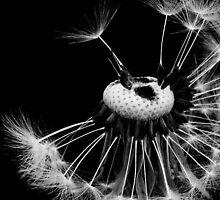 Dandelion Clock by Imi Koetz