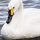 Bewick's Swan by KatyM