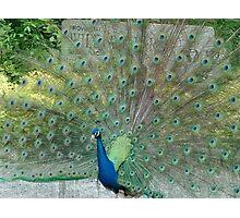 Romancing Peacock Photographic Print