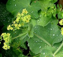 Lady's Mantle by Mary Ellen Tuite Photography