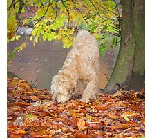 Wheaten Terrier Dog Sniffing in Leaves Photographic Print