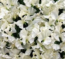 White Sweet Pea Design for T-shirt or other Products by Stephen Frost