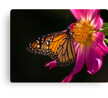 Monarch sipping dahlia nectar Canvas Print