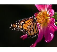 Monarch sipping dahlia nectar Photographic Print