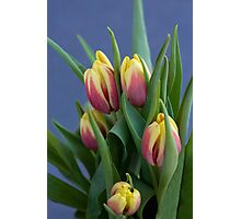 red and yellow tulips in spring blue background Photographic Print