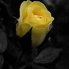 Rose in Black by Otto Danby II