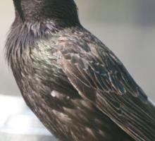 Starling ~ Beautiful but such a pest Sticker