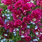 Pink Godetia And Blue Lobelia by Sandra Foster