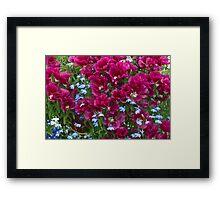Pink Godetia And Blue Lobelia Framed Print