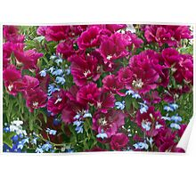 Pink Godetia And Blue Lobelia Poster