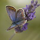lavender butterfly by Vilma Bechelli
