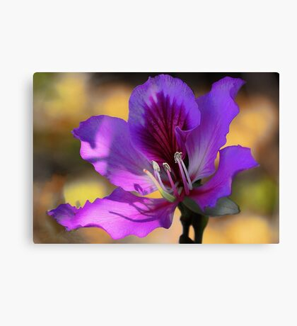 Hong Kong Orchid Tree Blossom --- Early Morning Light Canvas Print