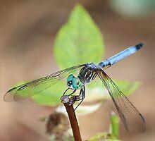 BlueDragon by Bob Hardy