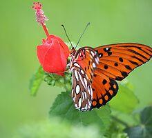 Florida butterfly by Bob Hardy